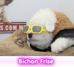 Bichon frisecriadero spaceanimals
