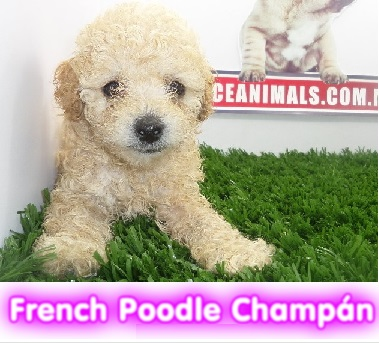 french poodle chanpan cachorros perros de raza criadero spaceanimals