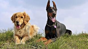 Atopia canina: síntomas y tratamiento