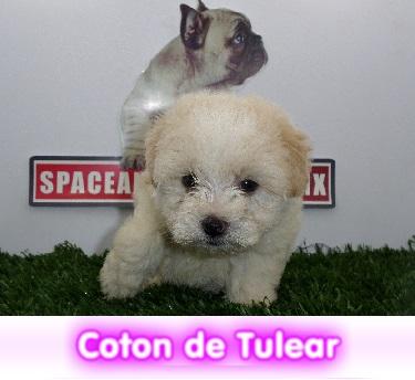 Coton de tulear cachorros perros en compra venta criadero spaceanimals - copia