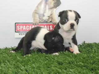 Spaceanimals, uno de los mejores criaderos caninos de méxico