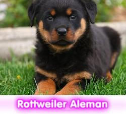 rottweiler alemana cachorros perros en compra venta criadero spaceanimals