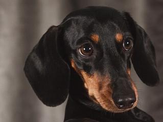 Epilepsia en perros: síntomas y tratamiento