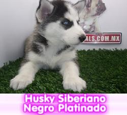 husky siberiano negro platinado  cachorros perros en compra venta criadero spaceanimals
