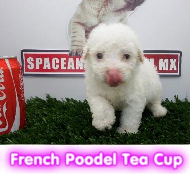 French poodle tea cut cachorros perros de raza compra venta criadero spaceanimals