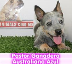 Pastor ganadero australiano BLUE HEELER cachorros perros en compra venta criadero spaceanimals