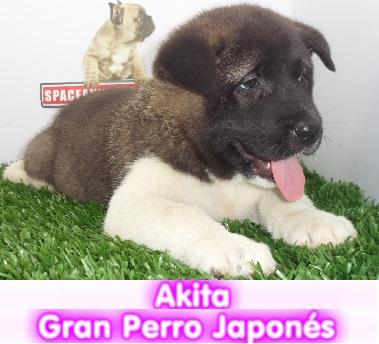 akita japones  cachorros perros en compra venta criadero spaceanimals