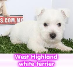 wets highlang terrier white  cachorros perros en compra venta criadero spaceanimals - copia