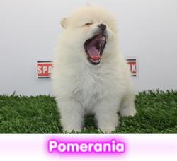 pomerania cachorros perros en compra venta criadero spaceanimals - copia