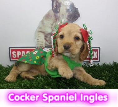 cocker  cachorros perros en compra venta criadero spaceanimals