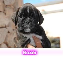 Boxer  cachorros perros en compra venta criadero spaceanimals
