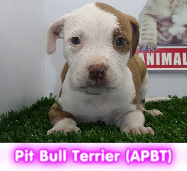 Pit Bull Terrier APBT cachorros perros en compra venta criadero spaceanimals
