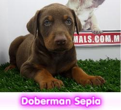 Doberman Sepia  cachorros perros en compra venta criadero spaceanimals
