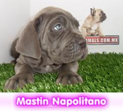 mastin napolitano  cachorros perros en compra venta criadero spaceanimals