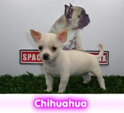 Chihuahua cabeza de manzana cachorros perros en compra venta criadero spaceanimals - copia