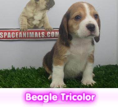 Beagle tricolor  cachorros perros en compra venta criadero spaceanimals