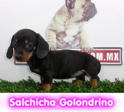 salchicha golondrino   cachorros perros en compra venta criadero spaceanimals - copia - copia