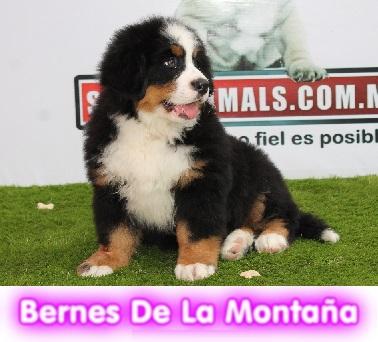 BERNES_DE_LA_MONTAÑA__cachorros_perros_en_compra_venta_criadero_spaceanimals