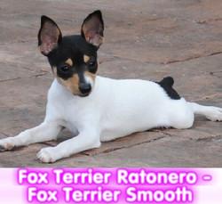 fox terrier ratonero cachorros perros en compra venta criadero spaceanimals