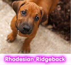rhodesian ridgeback  cachorros perros en compra venta criadero spaceanimals