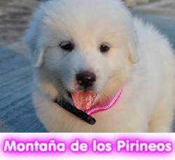 montaña_de_los_pirineos__cachorros_perros_en_compra_venta_criadero_spaceanimals