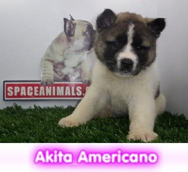 akita americano  cachorros perros en compra venta criadero spaceanimals
