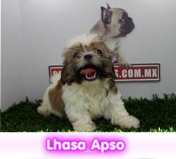 LHASA APSO cachorros perros en compra venta criadero spaceanimals - copia