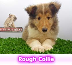 rough collie de pelo largo   cachorros perros en compra venta criadero spaceanimals