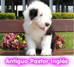 Bobtail o Antiguo pastor ingles  cachorros perros en compra venta criadero spaceanimals