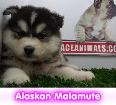 Alaskan malamute  cachorros perros en compra venta criadero spaceanimals
