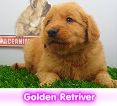 golden retriver cachorros perros en compra venta criadero spaceanimals