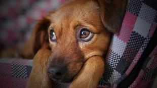 Hernia umbilical en cachorros: síntomas y tratamiento