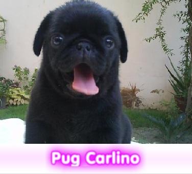 pUG CARLINO  cachorros perros en compra venta criadero spaceanimals - copia