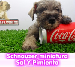 sCHNAUZER MINIATURA SAL PIMIENTE  cachorros perros en compra venta criadero spaceanimals - copia - c