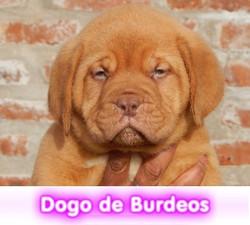 dogo de burdeos cachorros perros en compra venta criadero spaceanimals