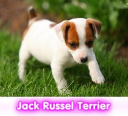 jack russel terrier  cachorros perros en compra venta criadero spaceanimals - copia