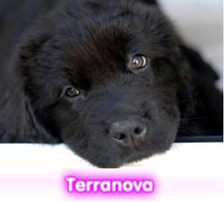 terranova  cachorros perros en compra venta criadero spaceanimals
