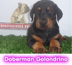 doberman golondrino  cachorros perros en compra venta criadero spaceanimals