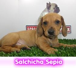 salchicha sepia  cachorros perros en compra venta criadero spaceanimals - copia