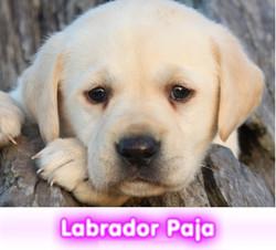 labrador  cachorros perros en compra venta criadero spaceanimals