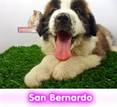 san BERNARDO   cachorros perros en compra venta criadero spaceanimals