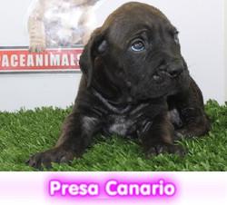 PRESA CANARIO cachorros perros en compra venta criadero spaceanimals
