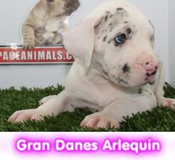 gran danes  cachorros perros en compra venta criadero spaceanimals