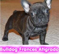 Bulldog frances atigrado  cachorros perros en compra venta criadero spaceanimals