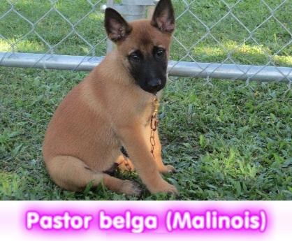 pastor belga malinois  cachorros perros en compra venta criadero spaceanimals