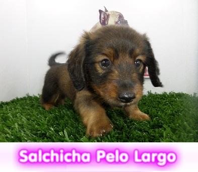salchicha de pelo largo   cachorros perros en compra venta criadero spaceanimals