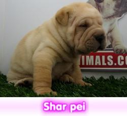 shar pei  cachorros perros en compra venta criadero spaceanimals