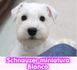 sCHNAUZER MINIATURA BLANCO cachorros perros en compra venta criadero spaceanimals