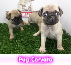 pug cervato cachorros perros en compra venta criadero spaceanimals
