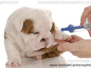 Como prevenir enfermedades en cachorros